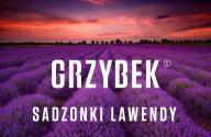Grzybek Sadzonki - Sadzonki Lawendy - Lawenda